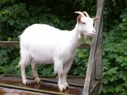 Срочно продаю домашнюю козу!