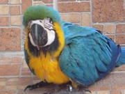 Kдома,  поднятые и зарегистрирован синих и золотых попугаи ара для прод